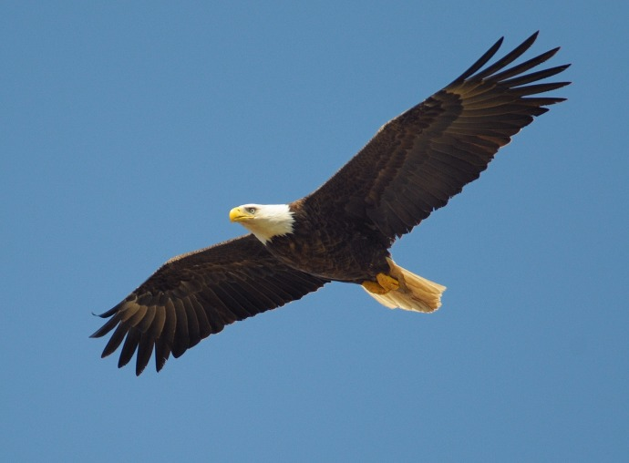 eagle-864725_1920