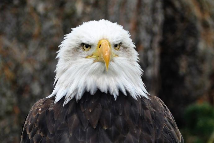 eagle-887789_1920